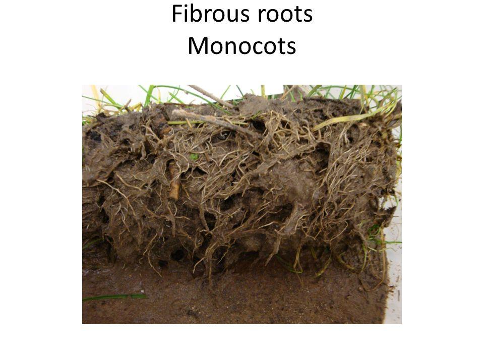 Fibrous roots Monocots