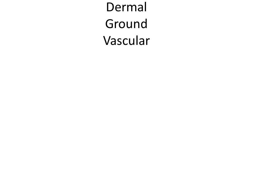 Dermal Ground Vascular