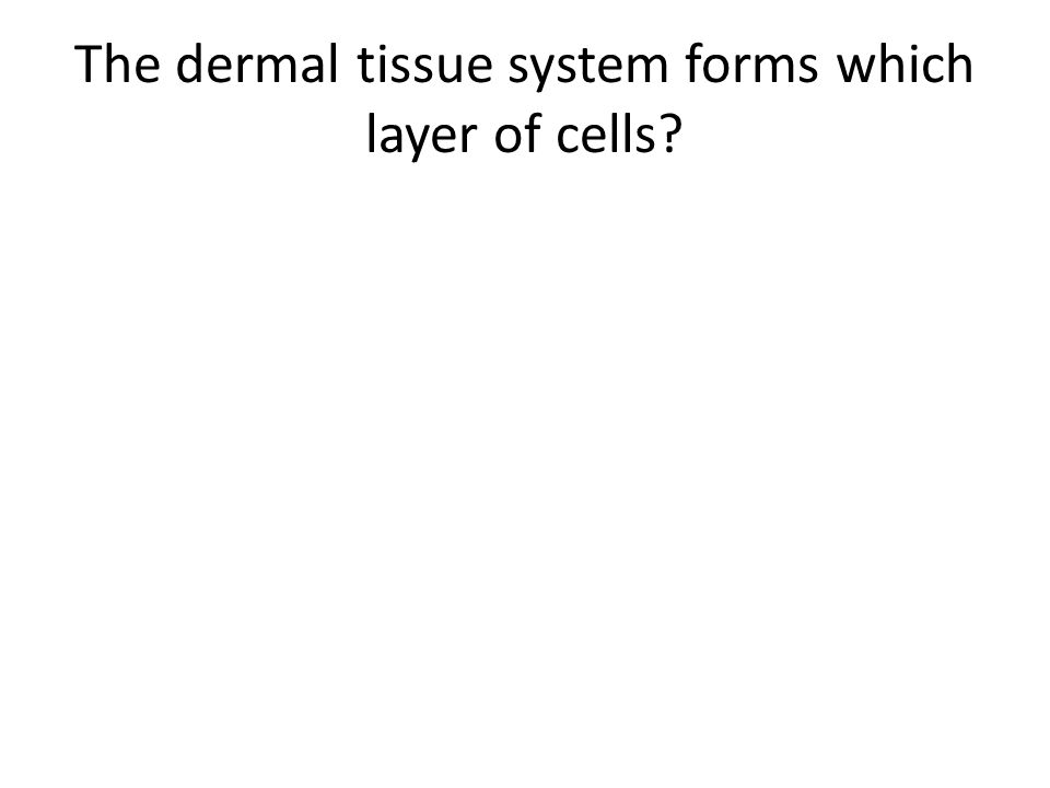 The dermal tissue system forms which layer of cells