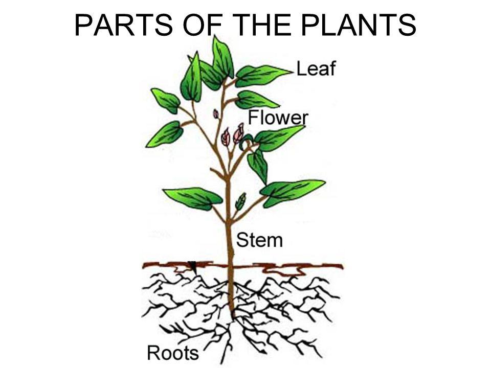 1.APICAL MERISTEM B)SHOOT MERISTEM: It produces new buds and leaves.
