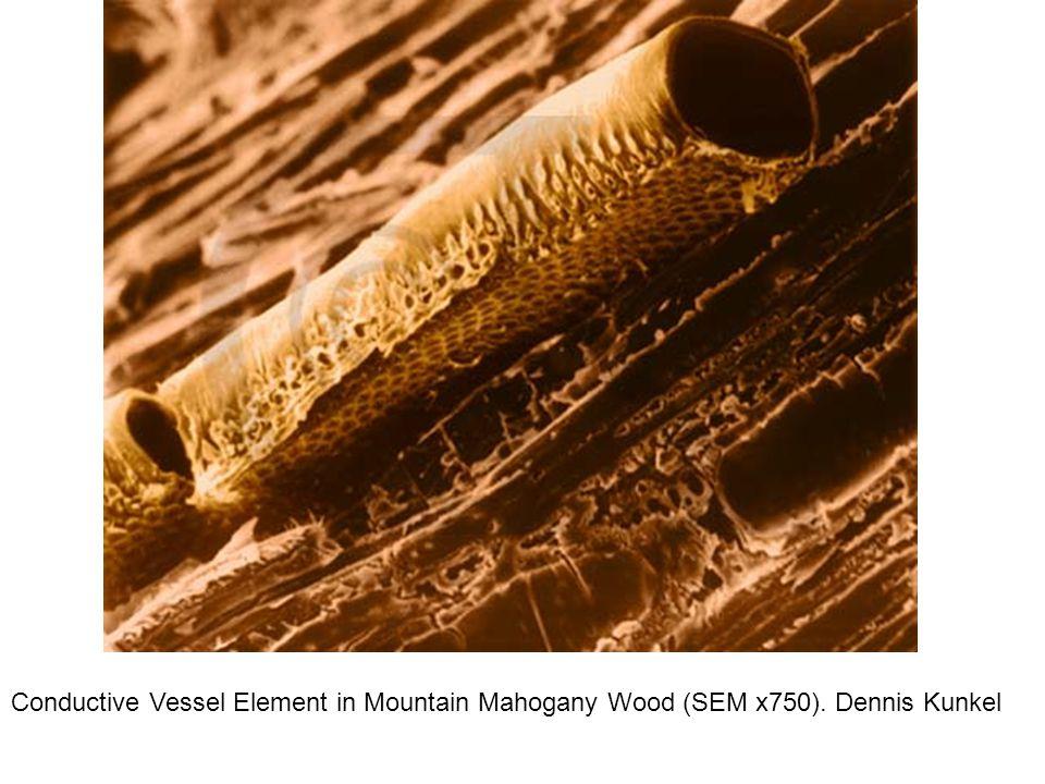 Conductive Vessel Element in Mountain Mahogany Wood (SEM x750). Dennis Kunkel