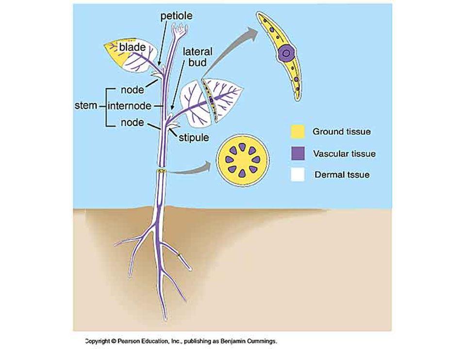 MERISTEMATIC TISSUE Types of Meristematic Tissue A plant has two types of meristem 1.Apical Meristem a) Root Meristem b) Shoot Meristem 2.
