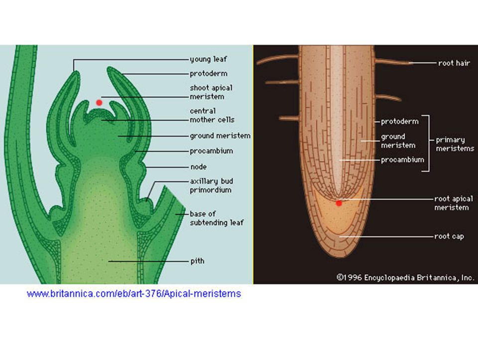 1.APICAL MERISTEM A)ROOT MERISTEM: Root meristem is composed of delicate cells that need protection The root apical meristem is protected by the root cap.
