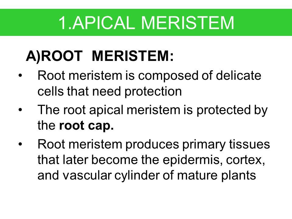 2. LATERAL MERISTEM(CAMBIUM) A) Vascular Cambium: