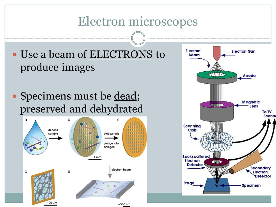 Electron microscopes Use a beam of ELECTRONS to produce images Specimens must be dead; preserved and dehydrated