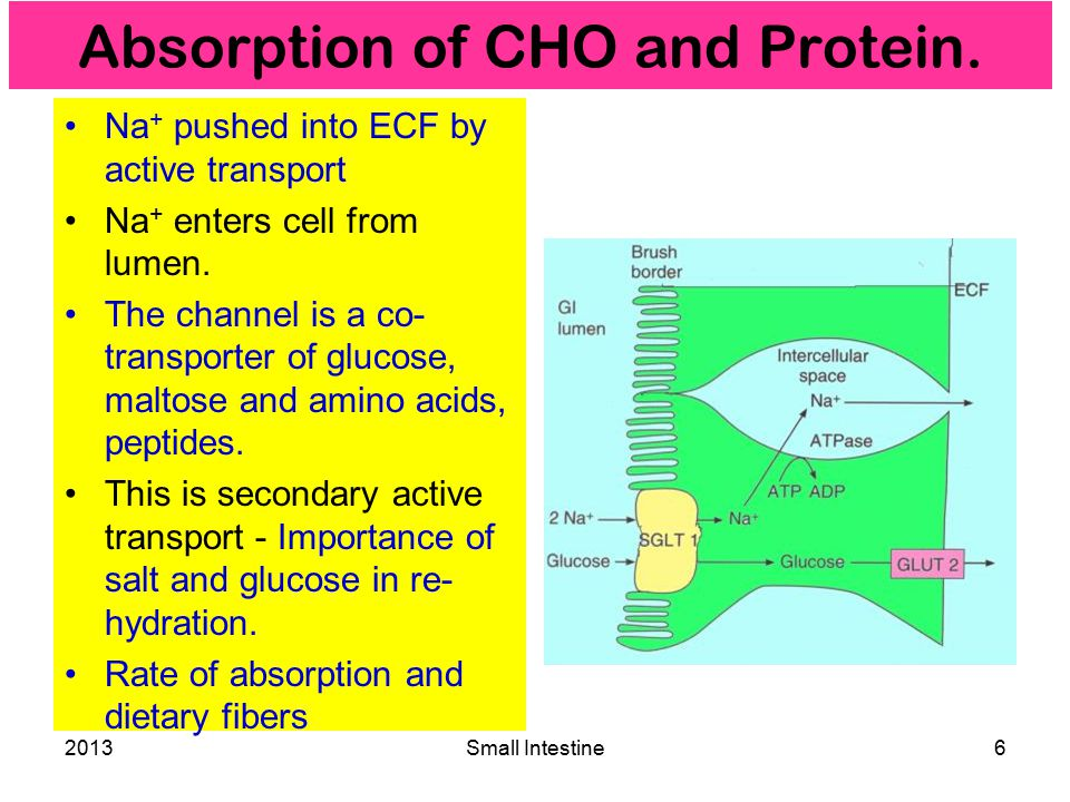 2013Small Intestine6 Absorption of CHO and Protein.