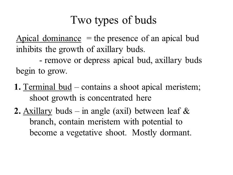 Apical dominance = the presence of an apical bud inhibits the growth of axillary buds. - remove or depress apical bud, axillary buds begin to grow. Tw