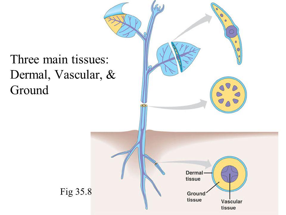 Fig 35.8 Three main tissues: Dermal, Vascular, & Ground