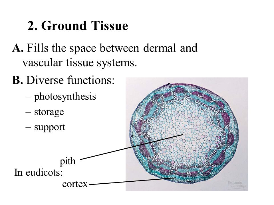 pith cortex In eudicots: 2. Ground Tissue A. Fills the space between dermal and vascular tissue systems. B. Diverse functions: –photosynthesis –storag