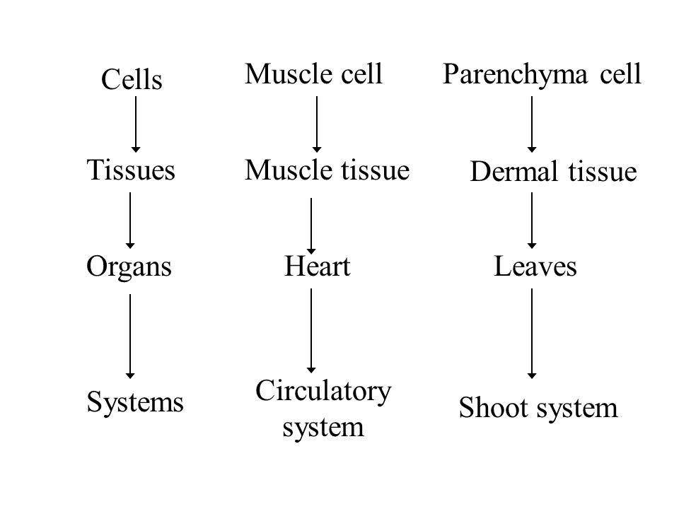 Cells Tissues Organs Systems Muscle cell Muscle tissue Heart Circulatory system Parenchyma cell Dermal tissue Leaves Shoot system