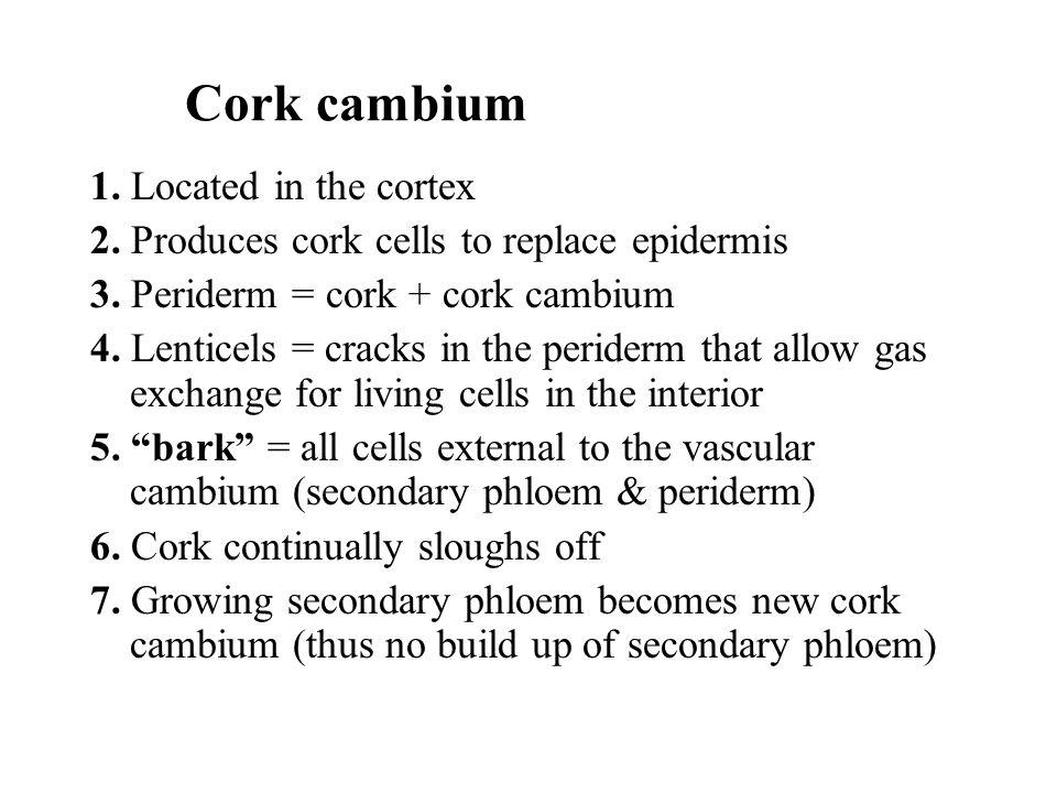 Cork cambium 1. Located in the cortex 2. Produces cork cells to replace epidermis 3. Periderm = cork + cork cambium 4. Lenticels = cracks in the perid