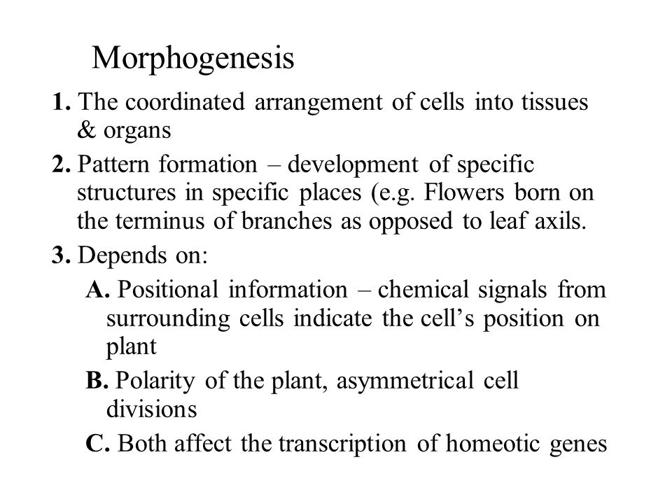 Morphogenesis 1. The coordinated arrangement of cells into tissues & organs 2. Pattern formation – development of specific structures in specific plac