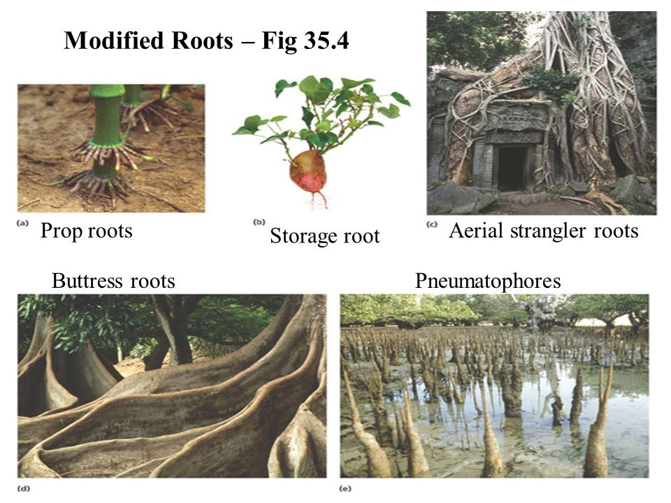 Modified Roots – Fig 35.4 Storage root Prop rootsAerial strangler roots Buttress rootsPneumatophores