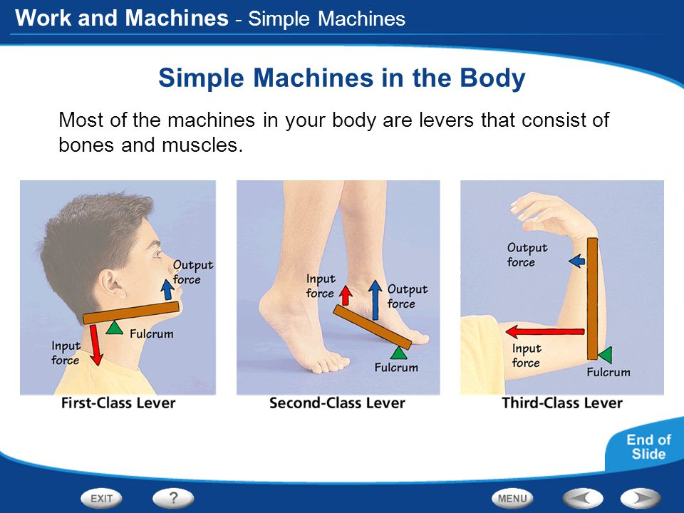 Work and Machines - Simple Machines Simple Machines in the Body Most of the machines in your body are levers that consist of bones and muscles.