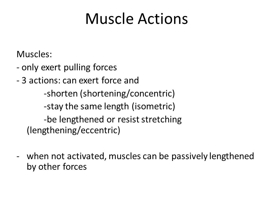 Muscle Actions Muscles: - only exert pulling forces - 3 actions: can exert force and -shorten (shortening/concentric) -stay the same length (isometric) -be lengthened or resist stretching (lengthening/eccentric) -when not activated, muscles can be passively lengthened by other forces