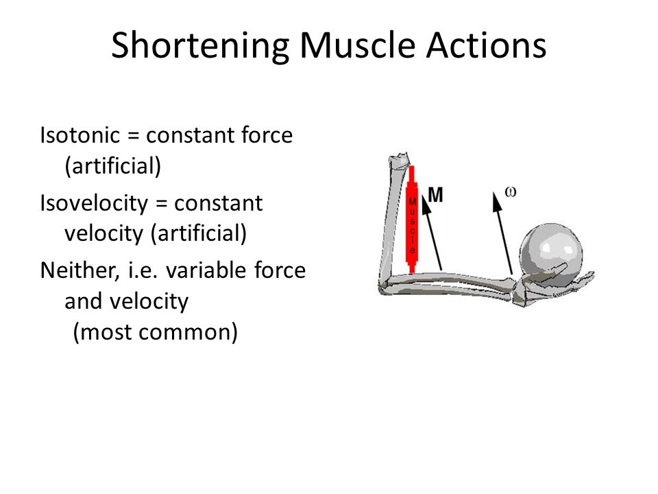 Shortening Muscle Actions Isotonic = constant force (artificial) Isovelocity = constant velocity (artificial) Neither, i.e.