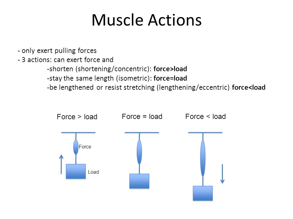 Muscle Actions - only exert pulling forces - 3 actions: can exert force and -shorten (shortening/concentric): force>load -stay the same length (isometric): force=load -be lengthened or resist stretching (lengthening/eccentric) force<load Force > load Force = loadForce < load Force Load