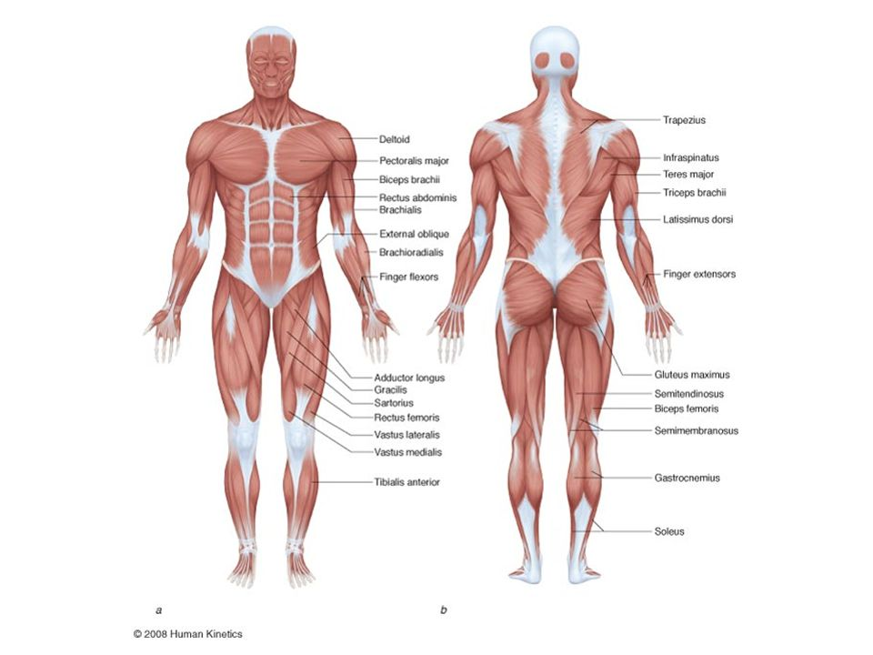 Key Point Most of the skeletal muscles operate at a considerable mechanical disadvantage.