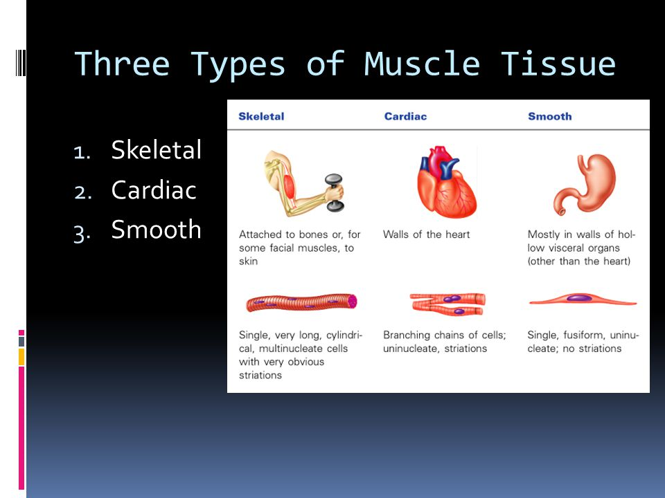 Three Types of Muscle Tissue 1. Skeletal 2. Cardiac 3. Smooth