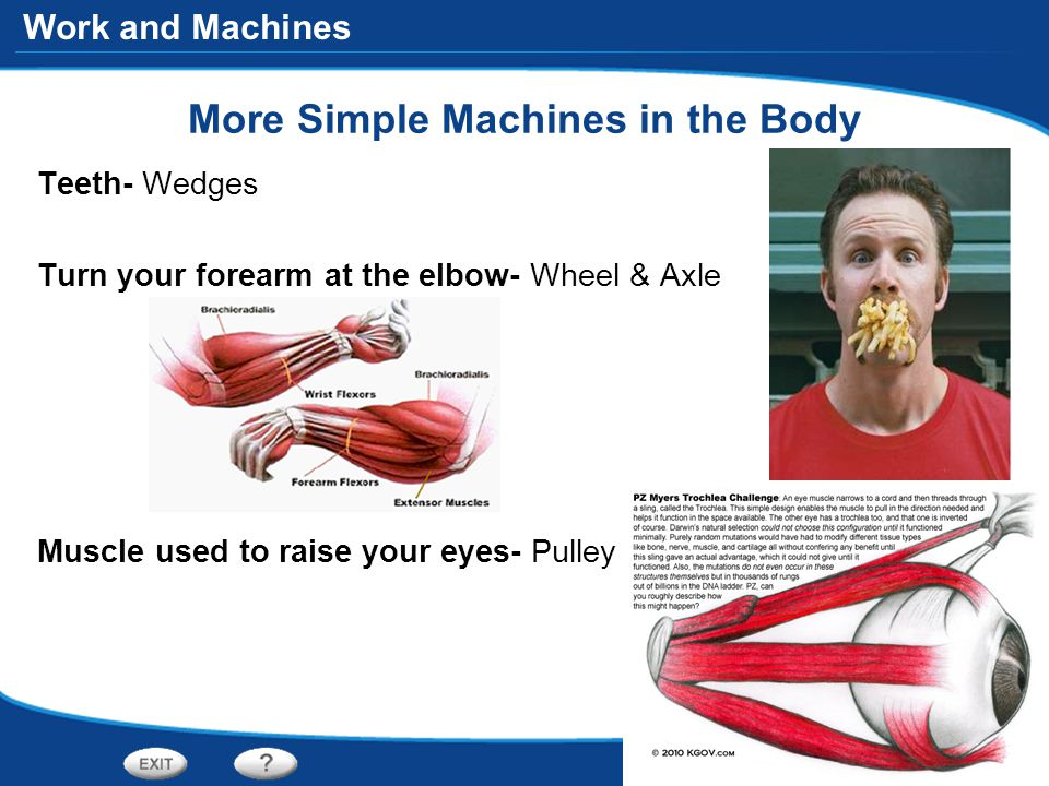Work and Machines More Simple Machines in the Body Teeth- Wedges Turn your forearm at the elbow- Wheel & Axle Muscle used to raise your eyes- Pulley