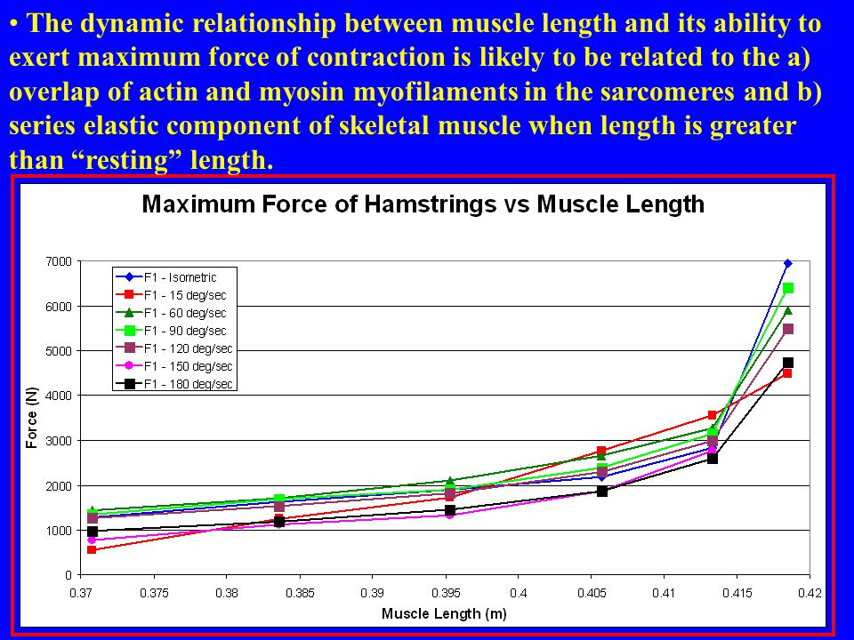 The dynamic relationship between muscle length and its ability to exert maximum force of contraction is likely to be related to the a) overlap of actin and myosin myofilaments in the sarcomeres and b) series elastic component of skeletal muscle when length is greater than resting length.