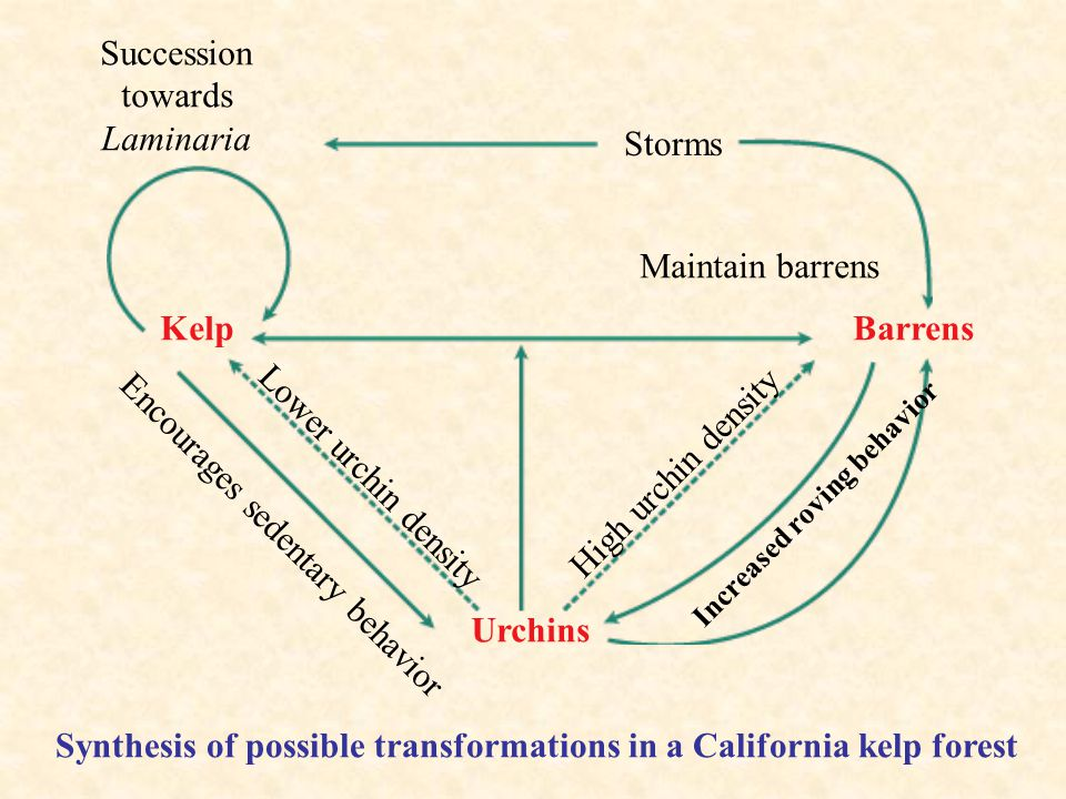 Succession towards Laminaria Storms Maintain barrens Barrens Increased roving behavior High urchin density Lower urchin density Kelp Encourages sedentary behavior Urchins Synthesis of possible transformations in a California kelp forest