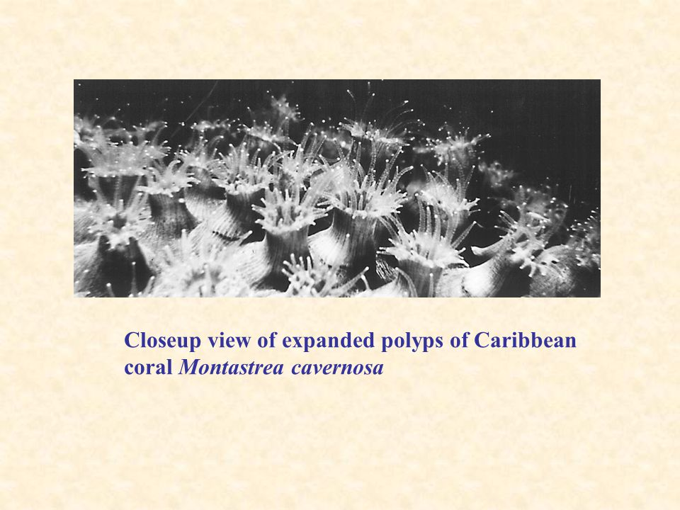Closeup view of expanded polyps of Caribbean coral Montastrea cavernosa