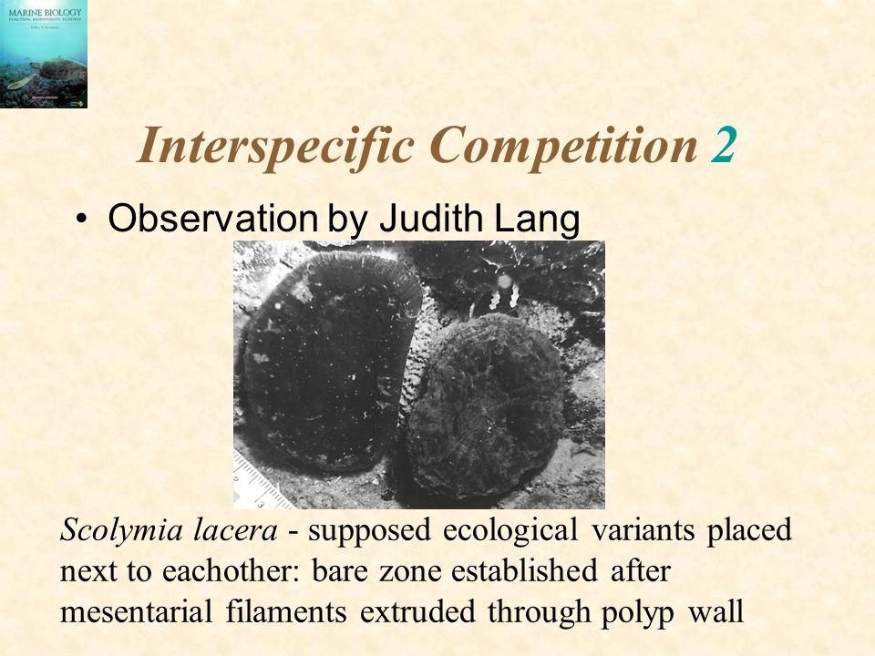 Interspecific Competition 2 Observation by Judith Lang Scolymia lacera - supposed ecological variants placed next to eachother: bare zone established after mesentarial filaments extruded through polyp wall