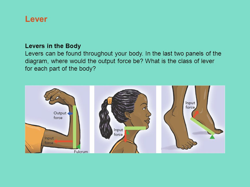Levers in the Body Levers can be found throughout your body.