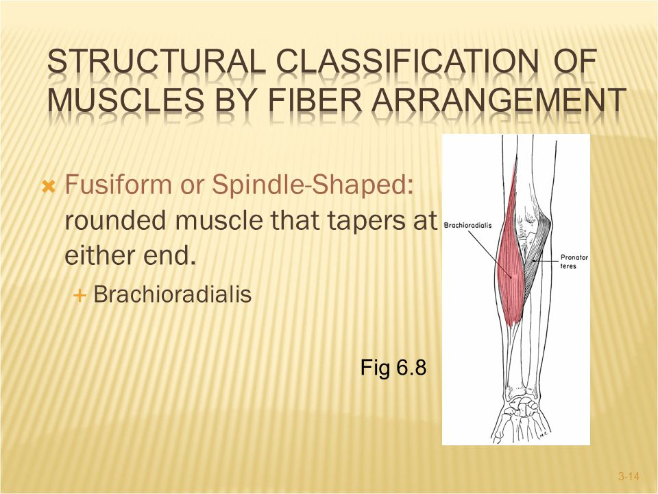 3-14  Fusiform or Spindle-Shaped: rounded muscle that tapers at either end.  Brachioradialis Fig 6.8