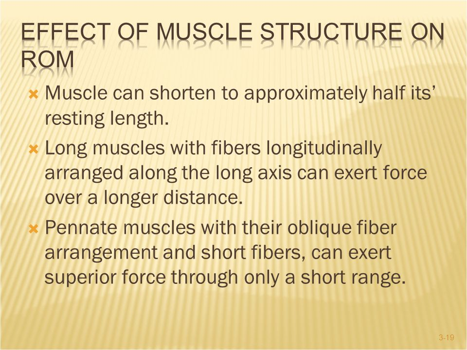 3-19  Muscle can shorten to approximately half its' resting length.  Long muscles with fibers longitudinally arranged along the long axis can exert