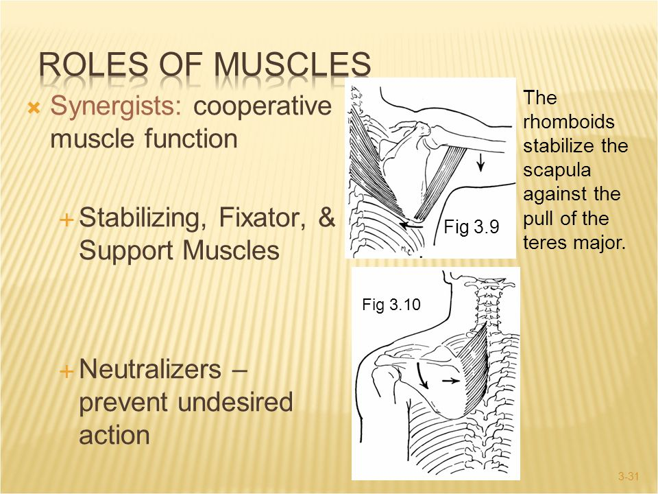 3-31  Synergists: cooperative muscle function  Stabilizing, Fixator, & Support Muscles  Neutralizers – prevent undesired action The rhomboids stabi