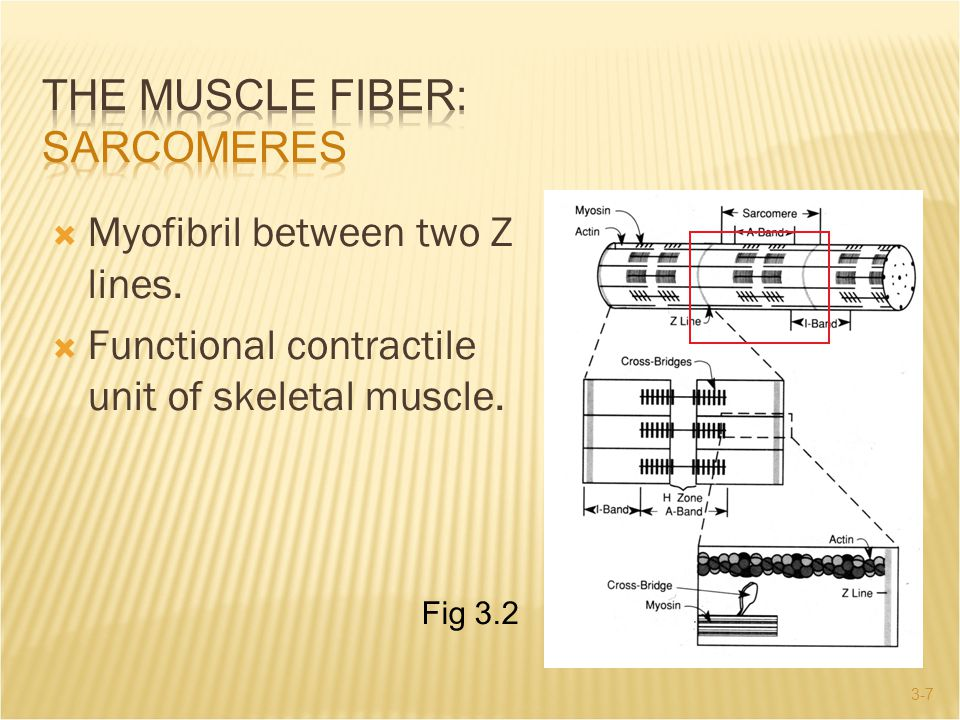 3-7  Myofibril between two Z lines.  Functional contractile unit of skeletal muscle. Fig 3.2