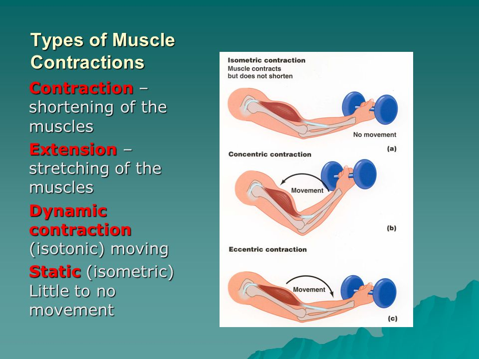 Types of Muscle Contractions Contraction – shortening of the muscles Extension – stretching of the muscles Dynamic contraction (isotonic) moving Stati