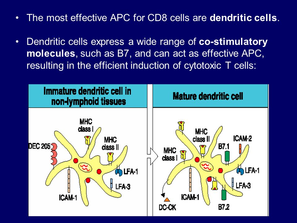 The most effective APC for CD8 cells are dendritic cells.