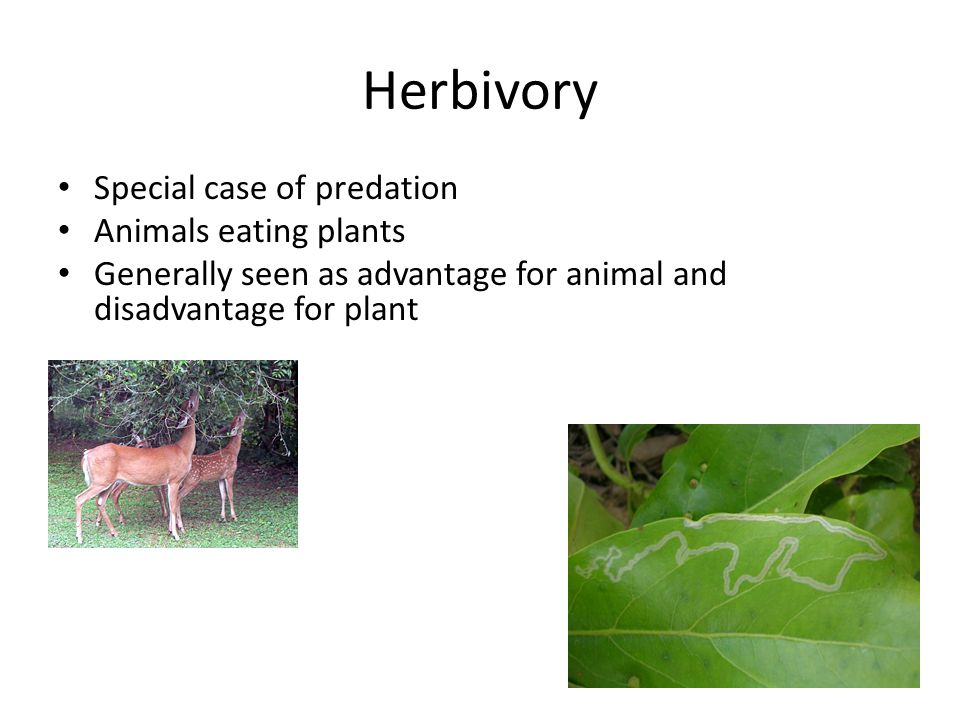 Herbivory Special case of predation Animals eating plants Generally seen as advantage for animal and disadvantage for plant