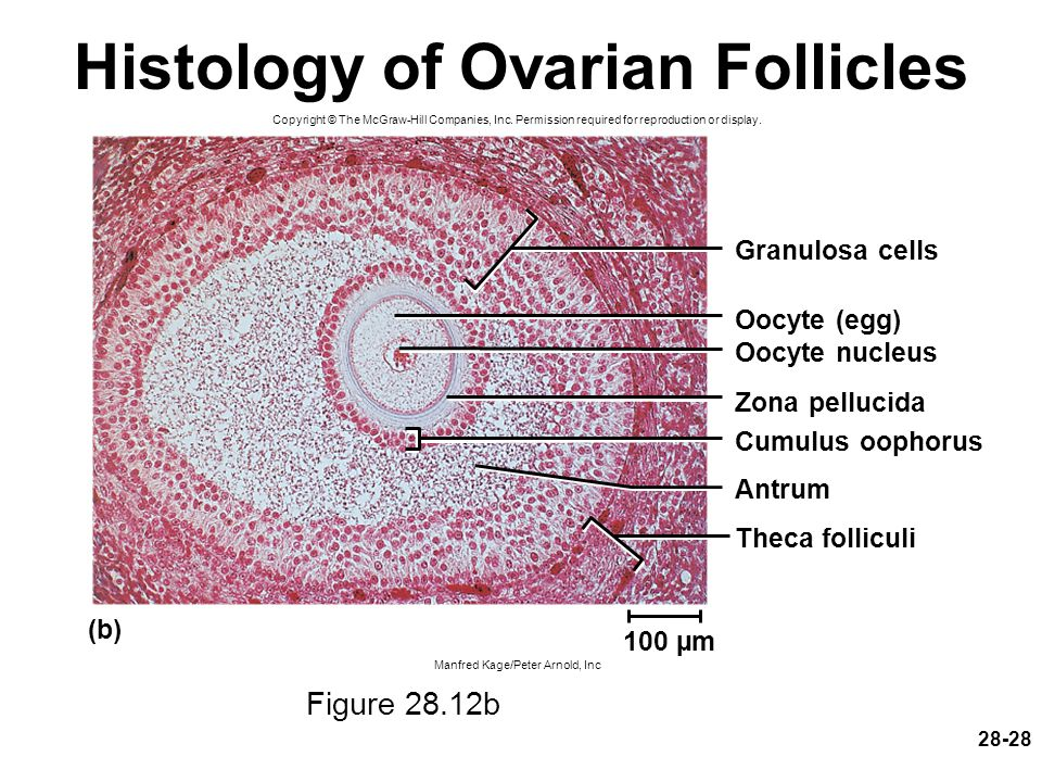 28-28 Histology of Ovarian Follicles Figure 28.12b Copyright © The McGraw-Hill Companies, Inc. Permission required for reproduction or display. Manfre