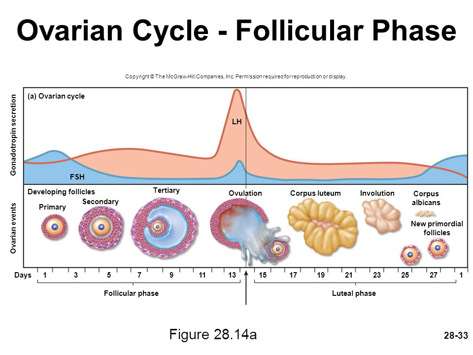 28-33 Ovarian Cycle - Follicular Phase Figure 28.14a Copyright © The McGraw-Hill Companies, Inc. Permission required for reproduction or display. Days