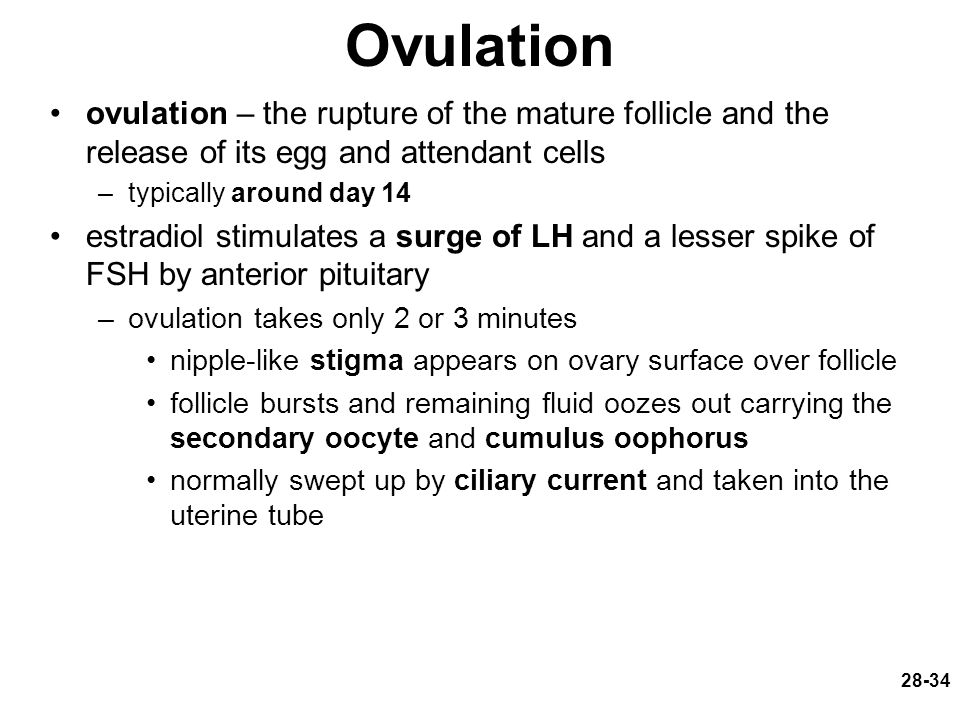 28-34 Ovulation ovulation – the rupture of the mature follicle and the release of its egg and attendant cells –typically around day 14 estradiol stimu