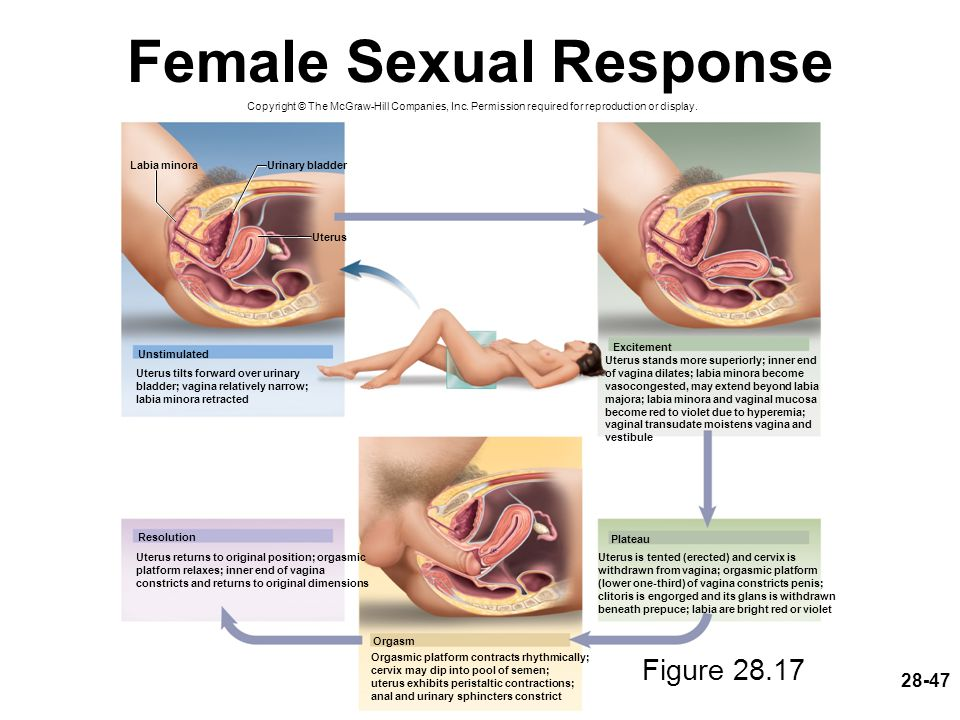 28-47 Female Sexual Response Copyright © The McGraw-Hill Companies, Inc. Permission required for reproduction or display. Unstimulated Excitement Plat