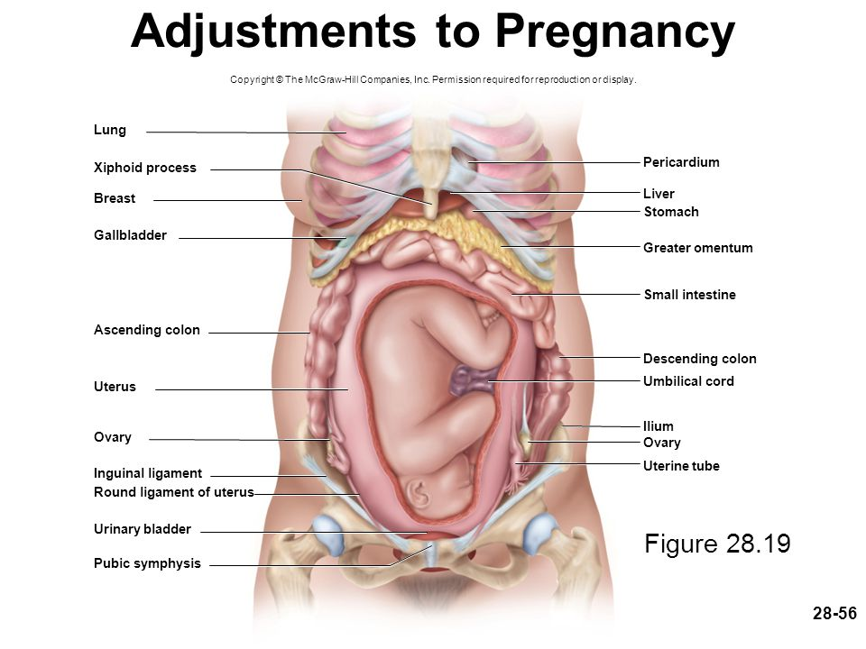 28-56 Adjustments to Pregnancy Figure 28.19 Copyright © The McGraw-Hill Companies, Inc. Permission required for reproduction or display. Pericardium S