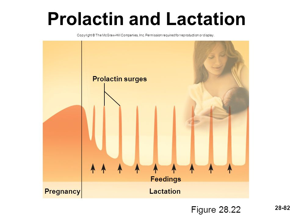 28-82 Prolactin and Lactation Figure 28.22 Copyright © The McGraw-Hill Companies, Inc. Permission required for reproduction or display. PregnancyLacta
