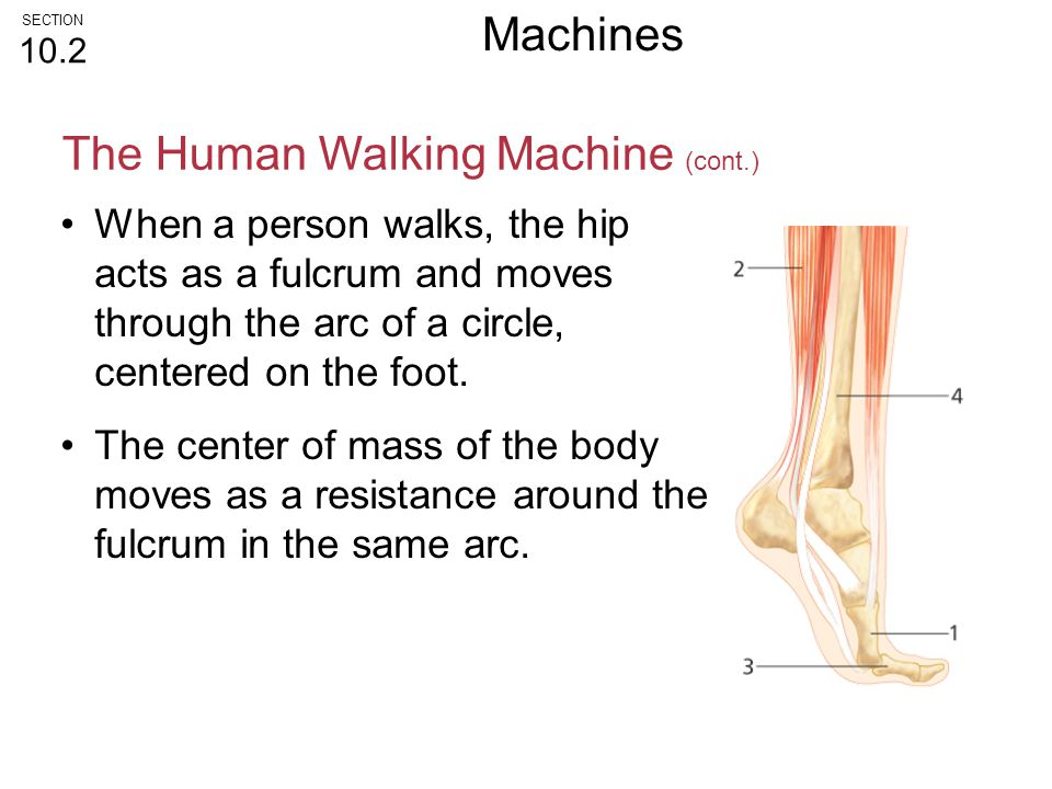 When a person walks, the hip acts as a fulcrum and moves through the arc of a circle, centered on the foot. The center of mass of the body moves as a