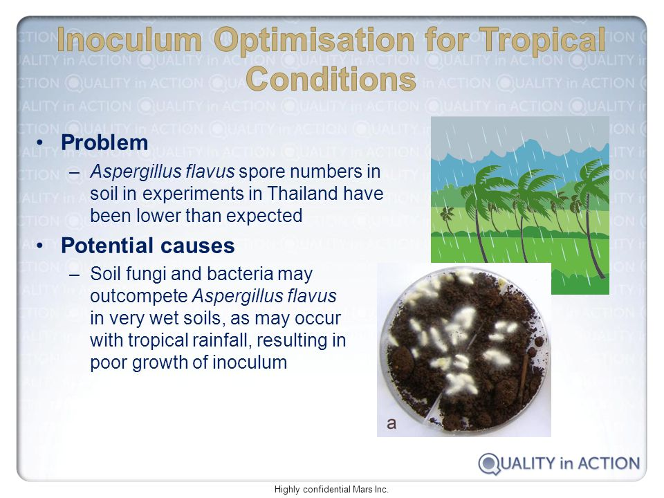 Problem –Aspergillus flavus spore numbers in soil in experiments in Thailand have been lower than expected Potential causes –Soil fungi and bacteria may outcompete Aspergillus flavus in very wet soils, as may occur with tropical rainfall, resulting in poor growth of inoculum Highly confidential Mars Inc.