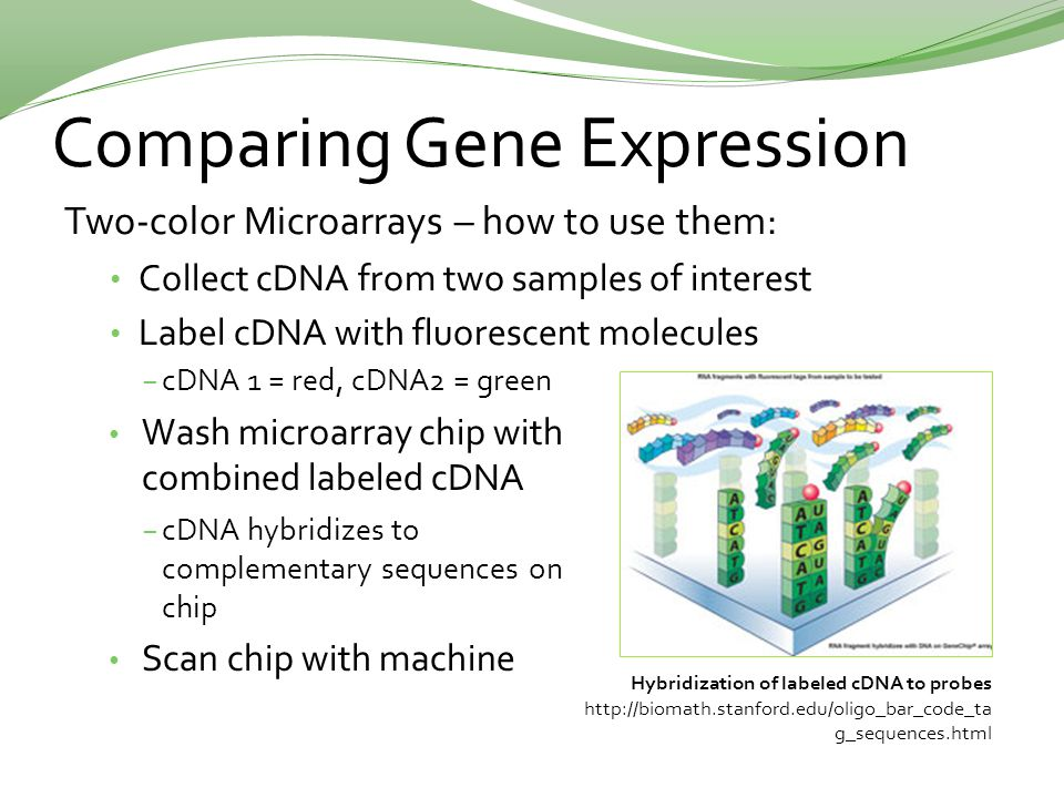 Comparing Gene Expression Two-color Microarrays – how to use them: Collect cDNA from two samples of interest Label cDNA with fluorescent molecules Hybridization of labeled cDNA to probes http://biomath.stanford.edu/oligo_bar_code_ta g_sequences.html −cDNA 1 = red, cDNA2 = green Wash microarray chip with combined labeled cDNA −cDNA hybridizes to complementary sequences on chip Scan chip with machine