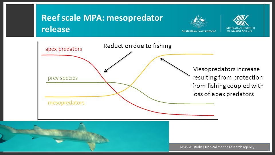 Reef scale MPA: mesopredator release mesopredators prey species apex predators Mesopredators increase resulting from protection from fishing coupled with loss of apex predators Reduction due to fishing