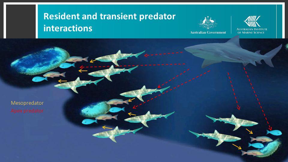 Resident and transient predator interactions Mesopredator Apex predator