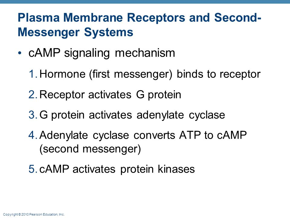 Copyright © 2010 Pearson Education, Inc. Plasma Membrane Receptors and Second- Messenger Systems cAMP signaling mechanism 1.Hormone (first messenger)