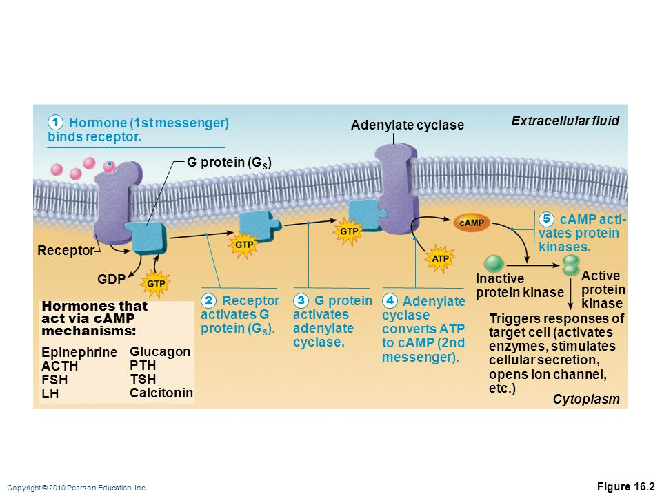 Copyright © 2010 Pearson Education, Inc. Figure 16.2 Hormone (1st messenger) binds receptor. Receptor activates G protein (G S ). G protein activates