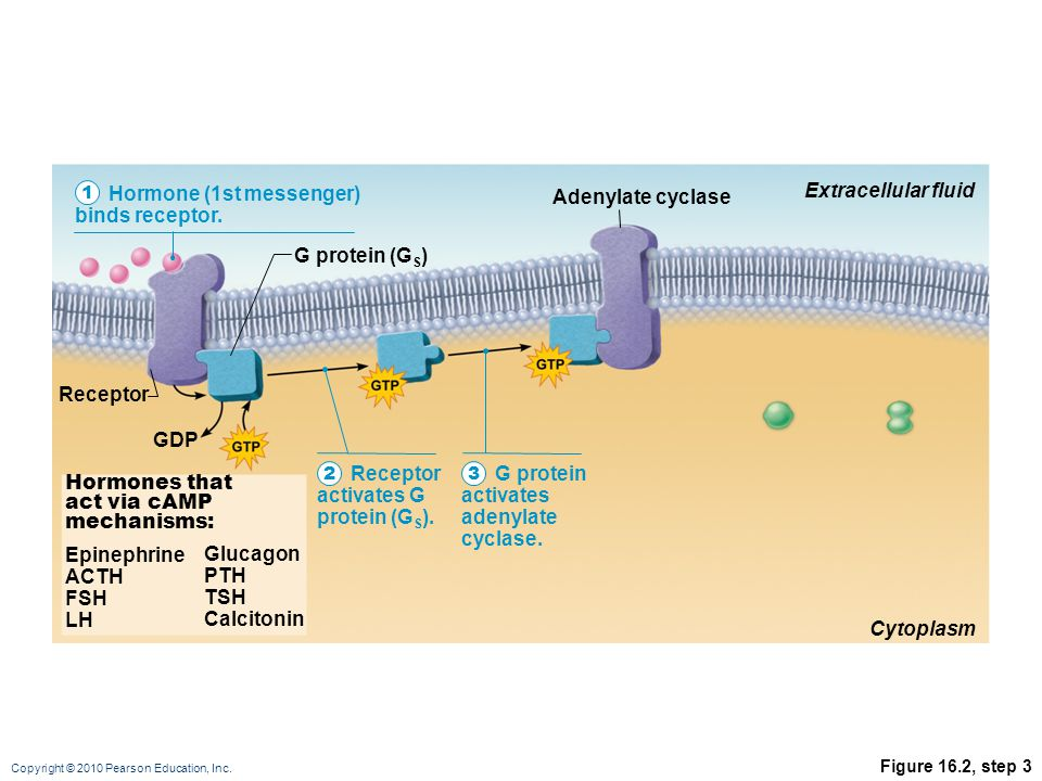 Copyright © 2010 Pearson Education, Inc. Figure 16.2, step 3 Hormone (1st messenger) binds receptor. Receptor activates G protein (G S ). G protein ac